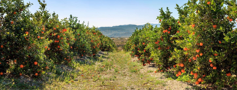 History of Mandarin Oranges