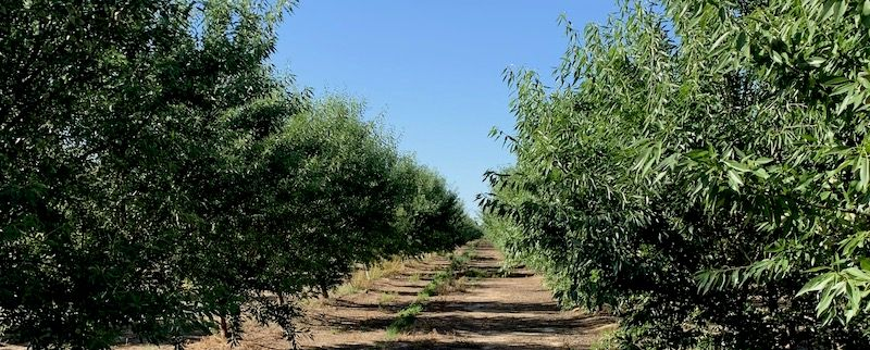 El Nido is a 19-acre almond orchard in California's Central Valley, Merced County. The almonds are 50/50 Nonpareil and Monterey varieties and are grown on a Hansen rootstock