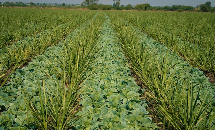 Intercropping can reduce pests and help crops use their natural nutrients and water systems more efficiently.